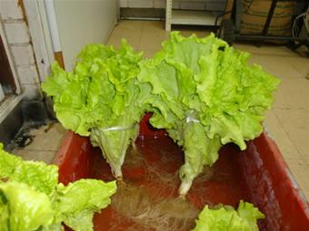 Hidroponia fvh variedades de lechuga guia for En cuanto tiempo se cosecha la tilapia